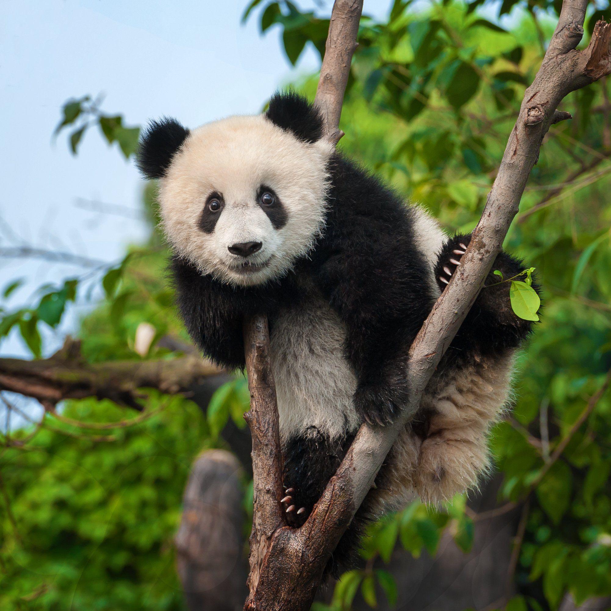 How much do male pandas weigh, THAIPOLICEPLUS.COM