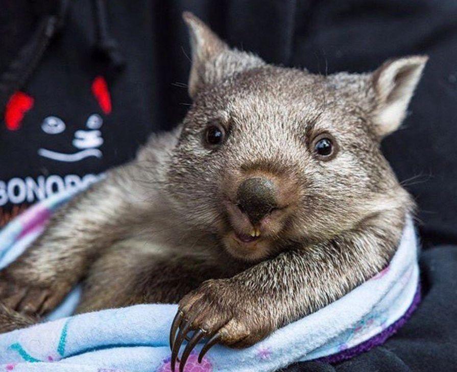 We Held Off On Wombat Wednesday…. Wombat, Australia