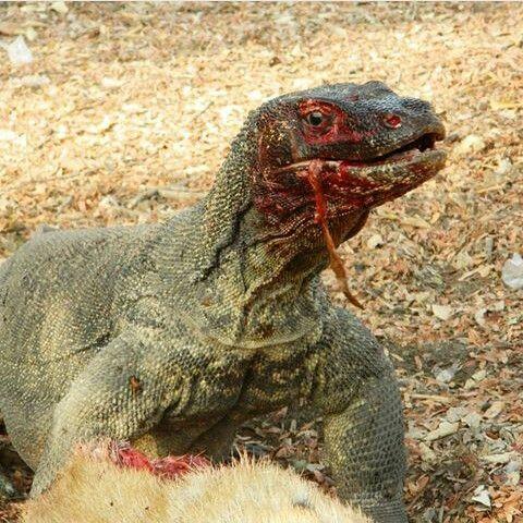 komodo dragon eating deer in loh liang komodo island travelling