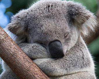 BABY KOALA Hugging MOM Photo Koala Bear Baby by BabyAnimalPrints