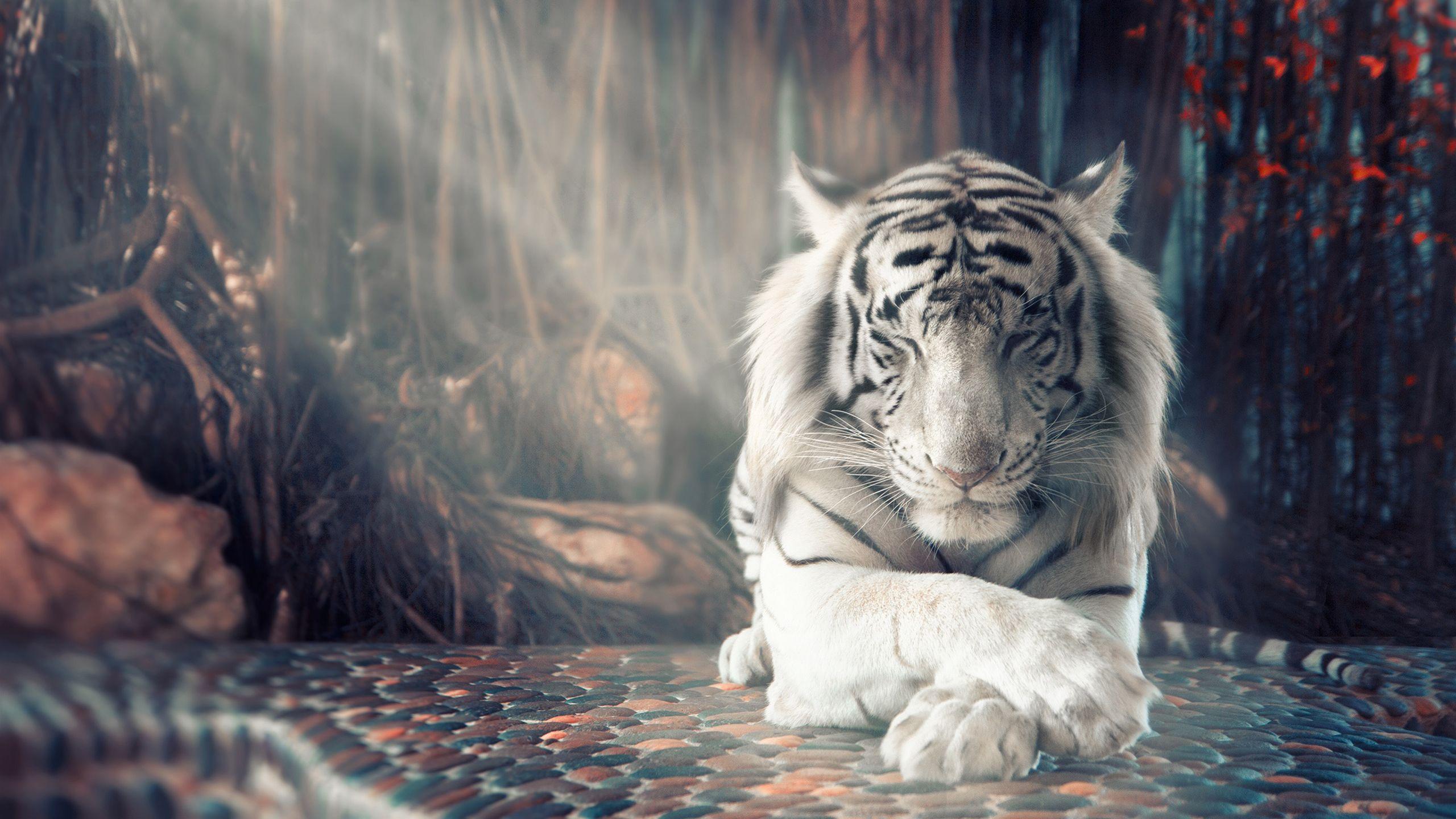 White Tiger Tiger Wallpaper White Tiger Pet Tiger