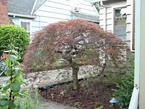 Pruning Laceleaf Anese Maple Trees In Oregon
