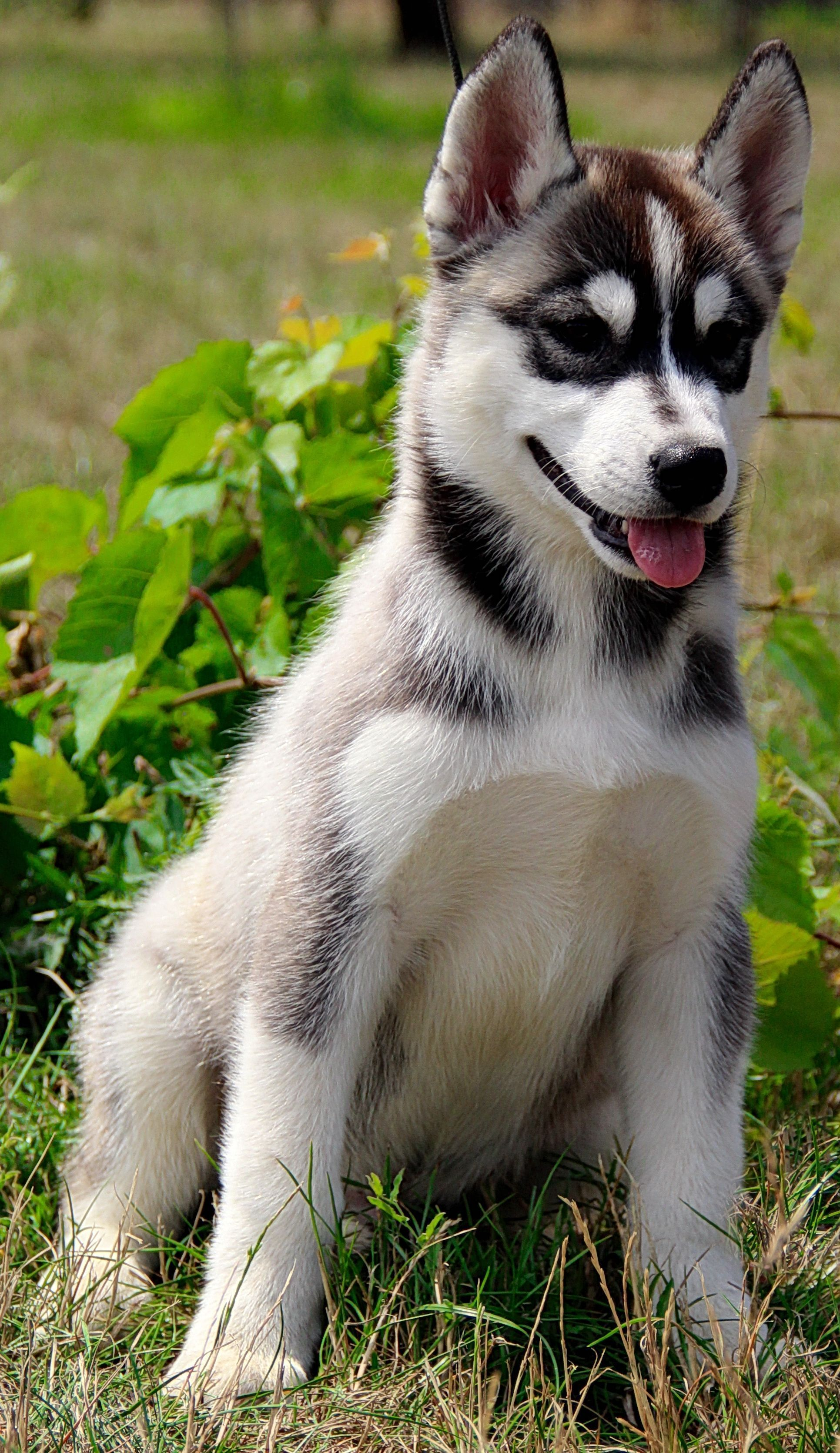 Melville The Playful And Energetic Siberian Husky Boy