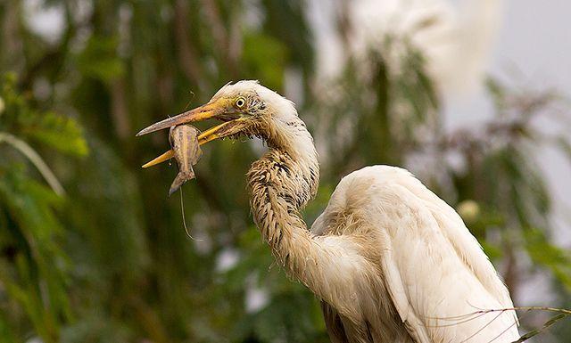 Foto garça-branca-grande (Ardea alba) por Peterson Bachin | Wiki Aves - A Enciclopédia das Aves do Brasil