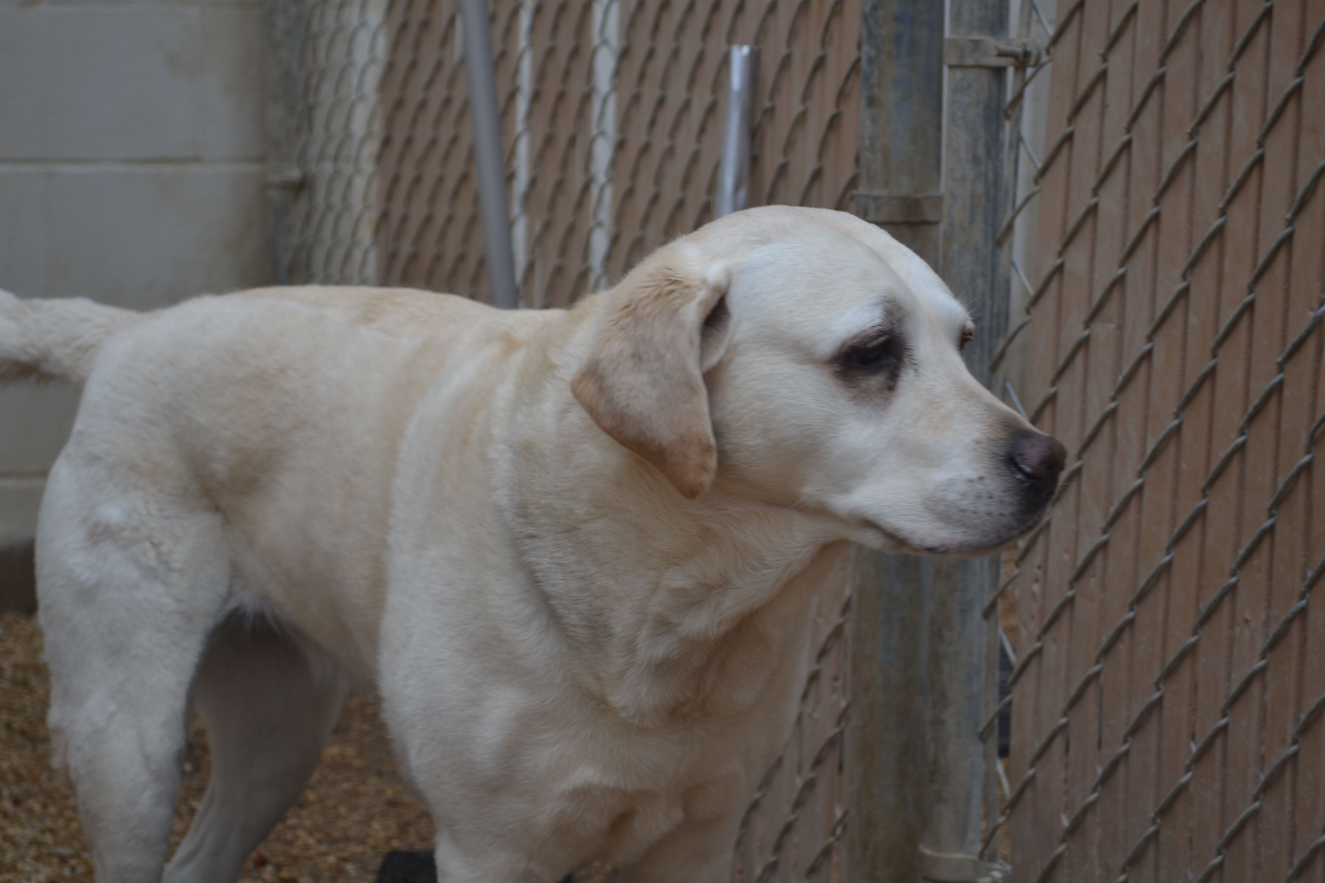 Gus the yellow lab Cute dogs and puppies, Cute dogs, Puppies