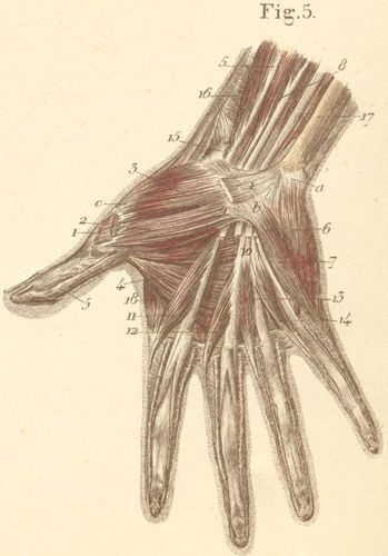 volar surface of the right hand, from which the aponeurosis and, Muscles