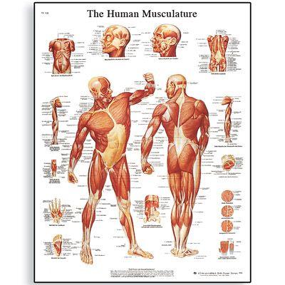 Human Muscular System Human Muscles Anatomy Pinterest