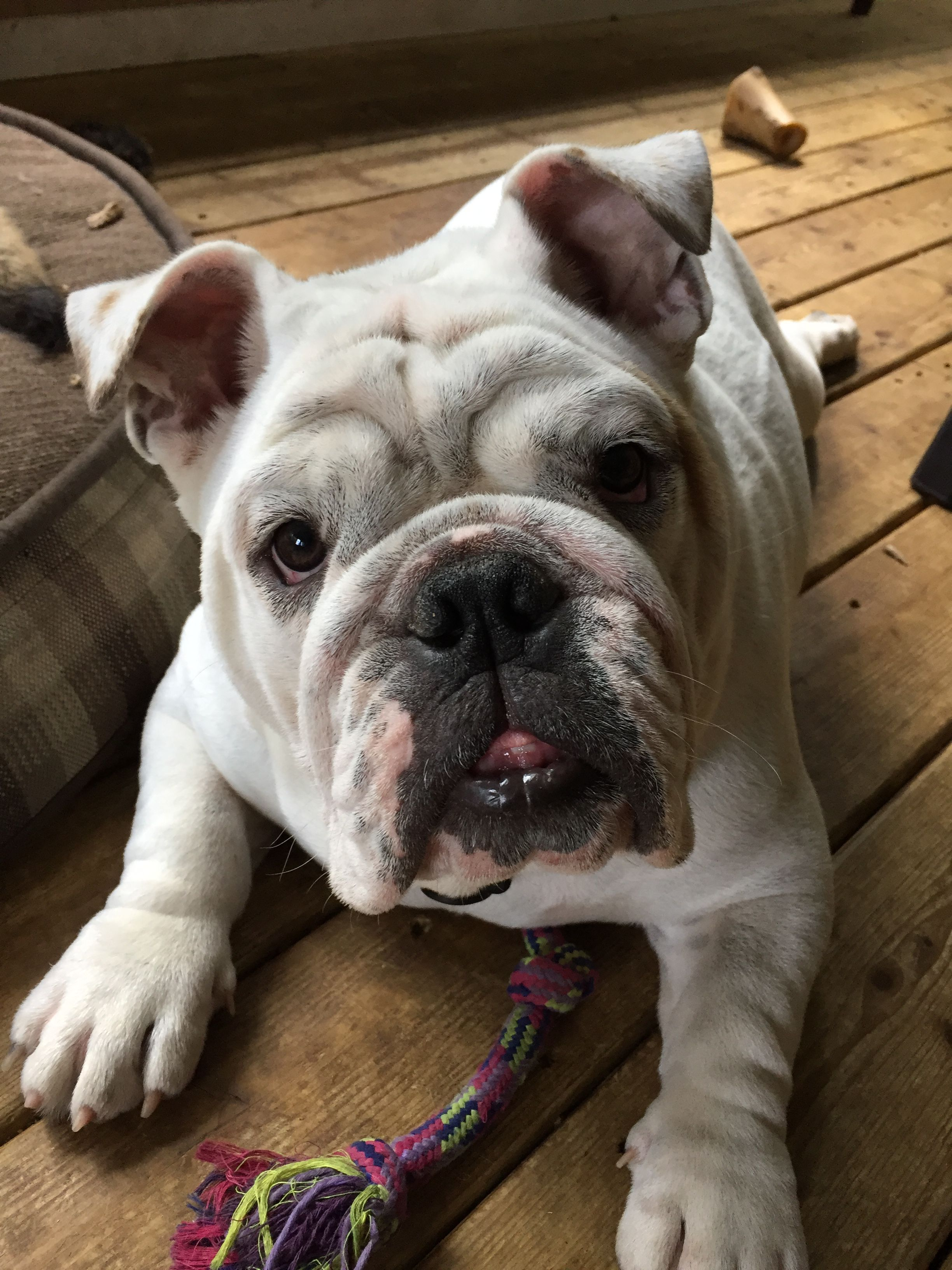 Pinterest Catherinesullivan2017 Cute Puppies Bully Dog Bulldog