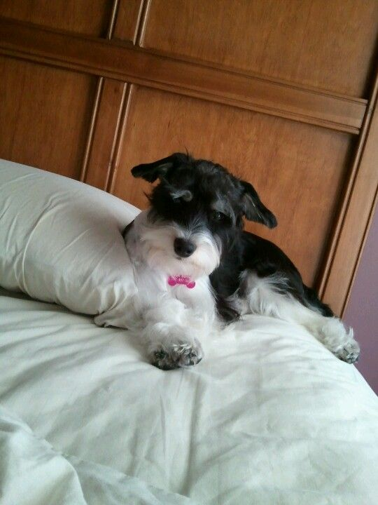 Maddie Our Schnoodle Schnoodle Poodle Rescue Dog Love