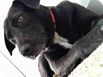 Heddy Urgent Austin Animal Center In Austin Tx Adopt Or Foster Adult Spayed Female Labrador Retrie Kitten Adoption Dog Adoption Labrador Retriever Mix