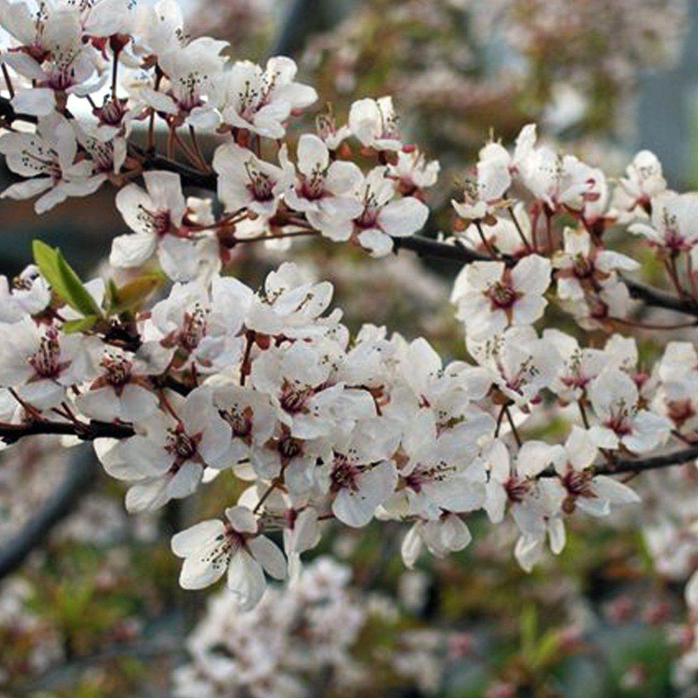 Small Ornamental Trees Nc: Dwarf Flowering Cherry Plum