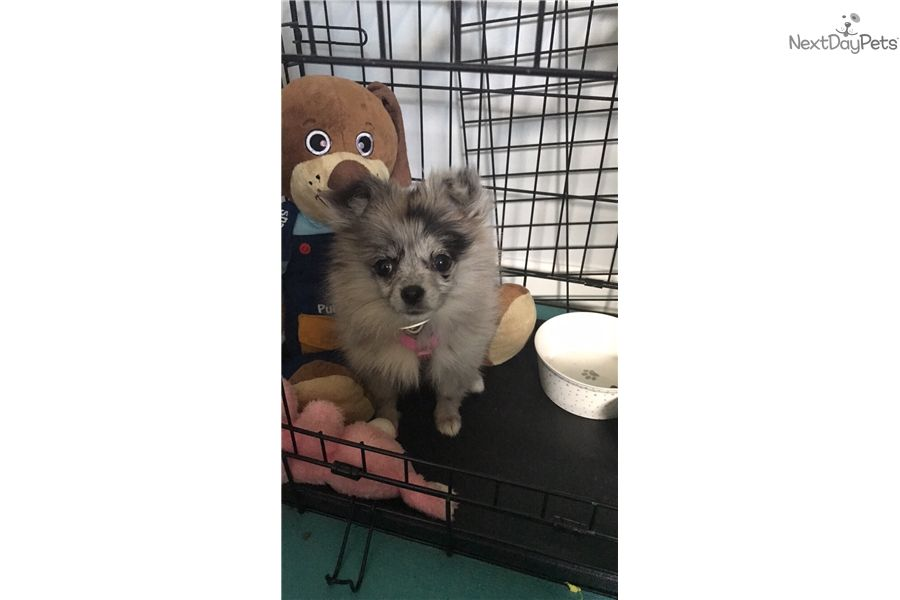 Pepper Poma Poo Pomapoo Puppy For Sale Near Jacksonville Florida A2fb9290 A8c1 Puppies For Sale Puppies Pomapoo