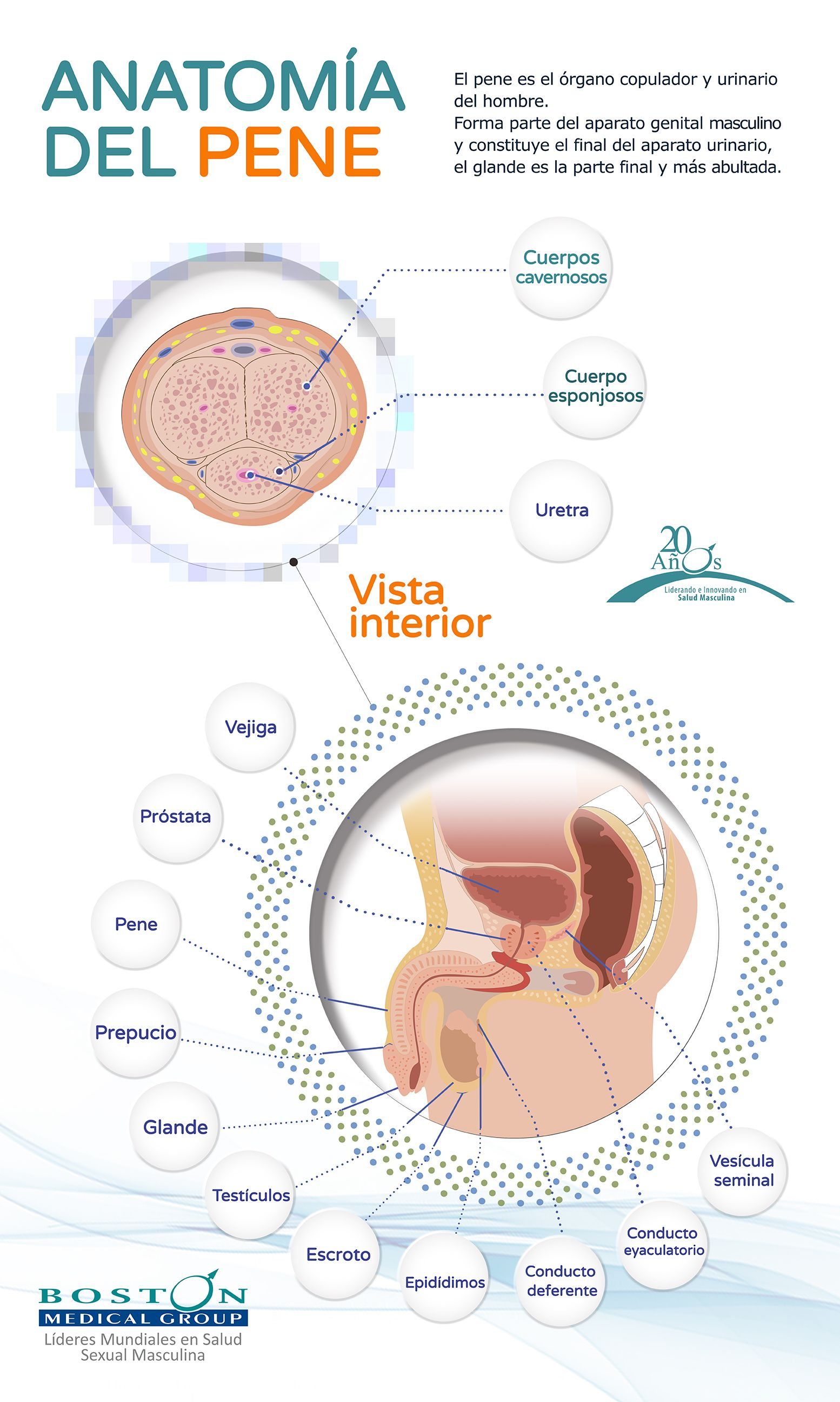 Anatomia del Pene_por Boston Medical Group | infografias Salud ...