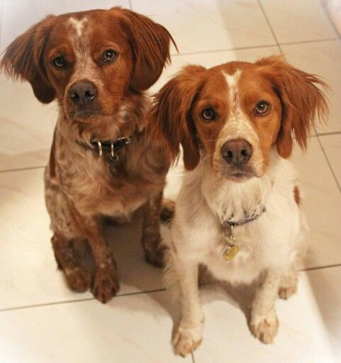 Epagneul Breton Dogs Brittany Dog Bird Dogs