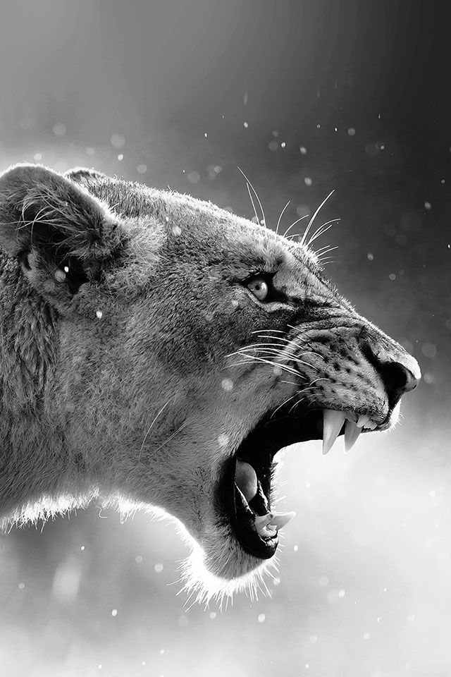Angry Lion Two Parallax Hd Iphone Ipad Wallpaper Animaux Noir Et Blanc Fond Ecran Animaux Animaux Sauvages