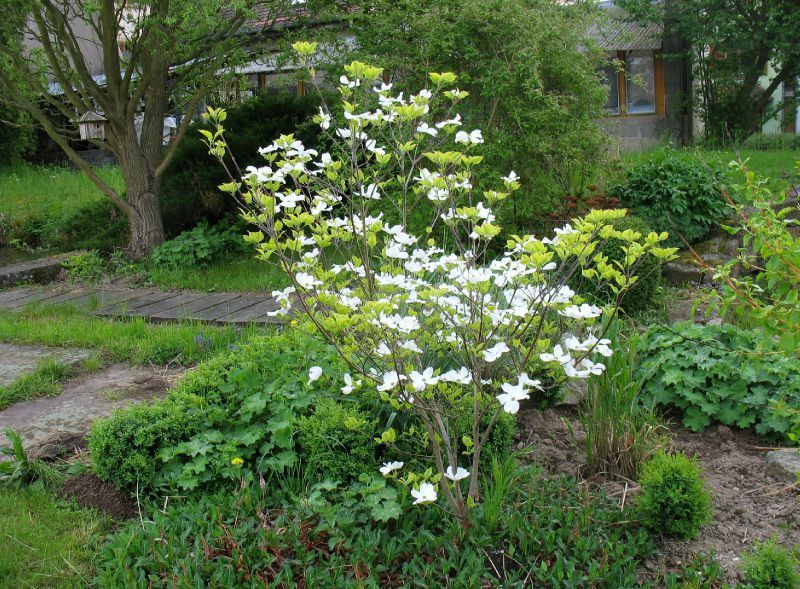 Les quatre saisons du cornus florida 39 rainbow 39 calli 39 canthus le jardin jardin blanc - Les quatre saisons du jardinage ...