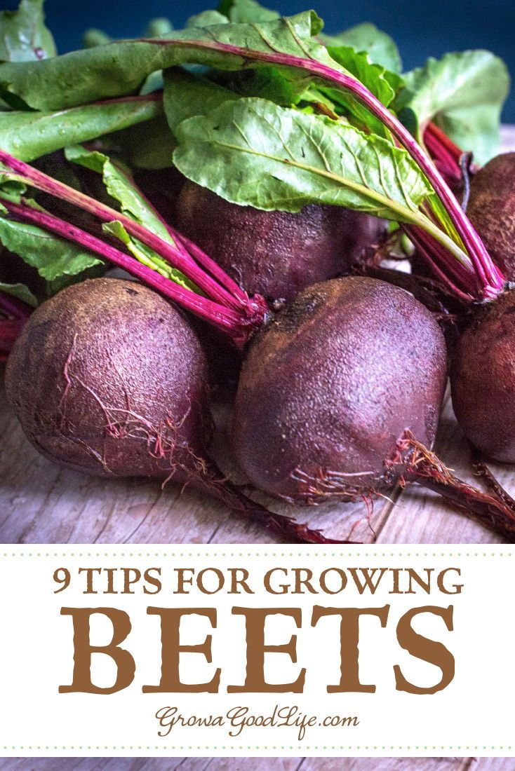 How To Grow Beets From Seed To Harvest Growing Beets Beets Spring Vegetable Garden