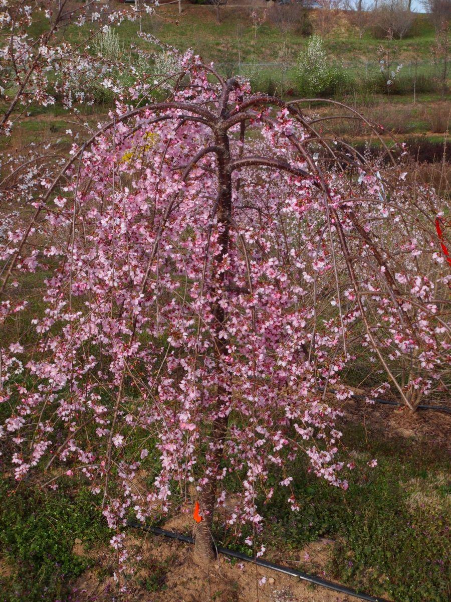 Pink Cascade Cherry Shrubs Trees And Shrubs Flowering Trees
