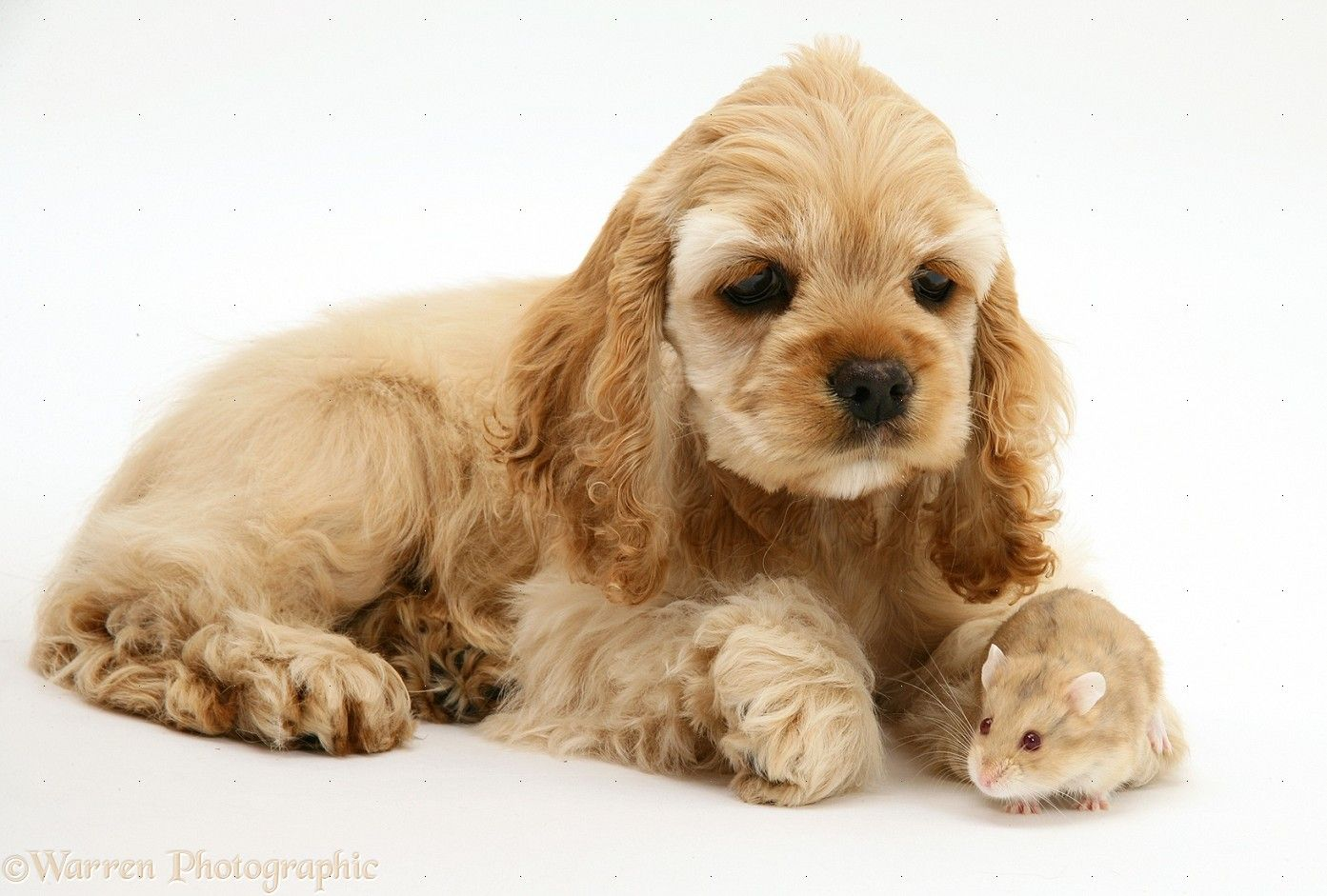Buff American Cocker Spaniel pup with hamster photo