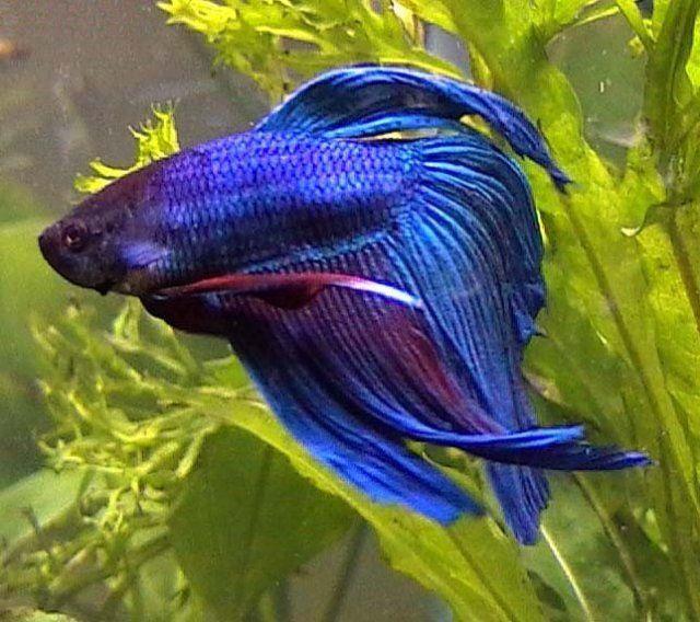 Blue veiltail betta male i like fish pinterest for Male veiltail betta fish