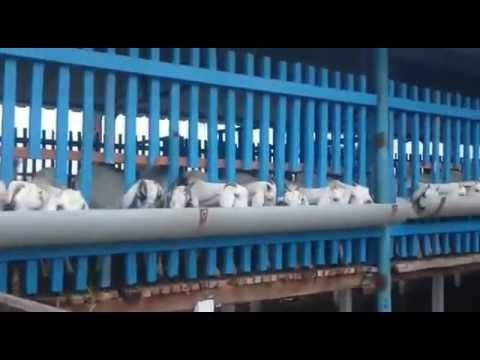 Goat Farm Slatted Floor Goat Farm System Youtube Goat Farming Farming System Goats