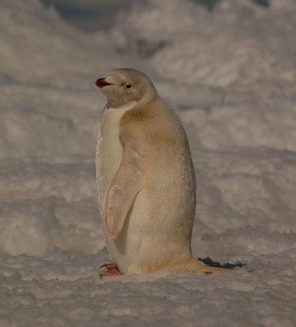 Albino Adelie penguin (Pygoscelis adeliae) | Nature Beauty ...