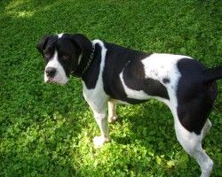 American Bull Dane American Bulldog Great Dane Mix This Is What
