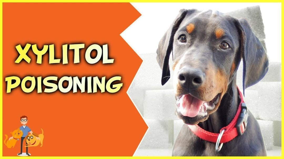 Xylitol Poisoning In Dogs Can Easily Be Deadly It Only Takes A