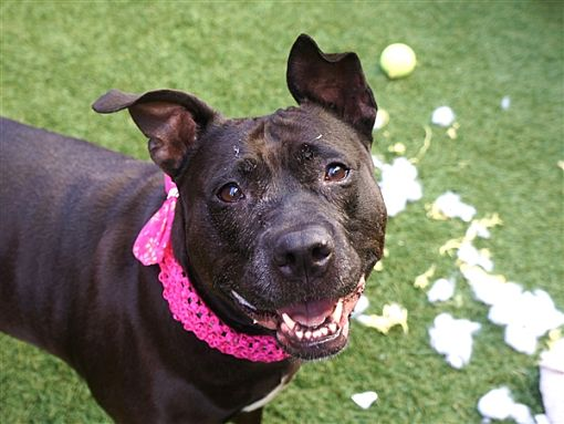 New York, NY Mixed Breed (Large). Meet Pebbles a Pet for