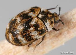 Beetle Control Beetle Carpet Bugs Pest Control