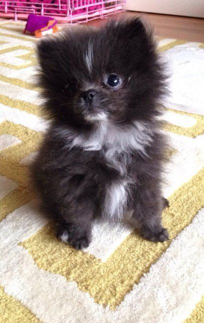 Adorable Black and White Fluffy Pomeranian Puppy | Cute ...