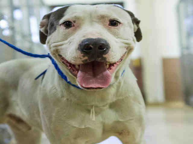 American Bulldog dog for Adoption in Houston, TX. ADN