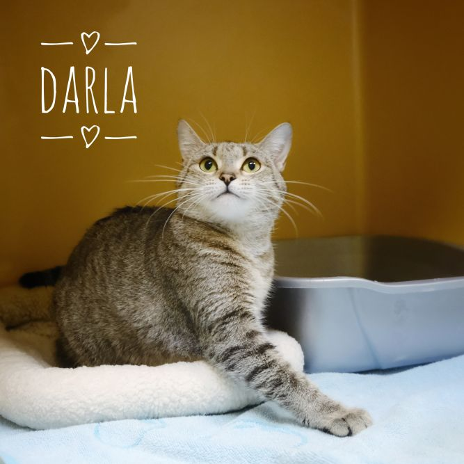 Adopt Darla On In 2020 Cat Adoption Help Homeless Pets Animal Shelter