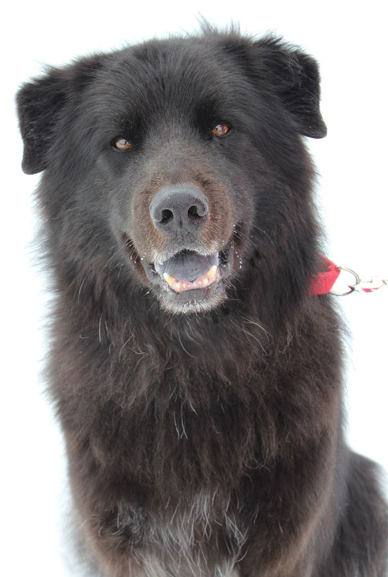 Adopted Thank You Bear Golden And Chow Mix Toledo Oh With