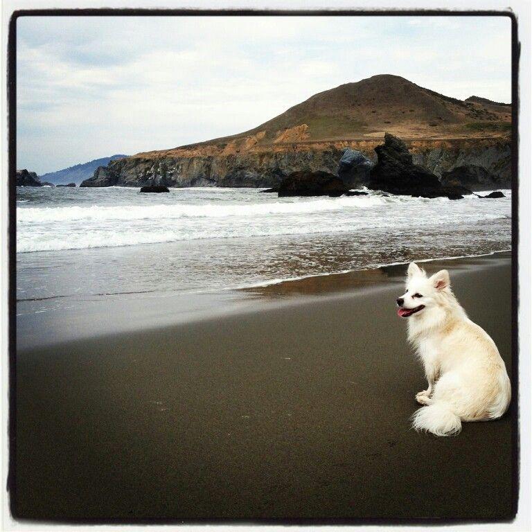 My miniture american eskimo dog shasta at the beach