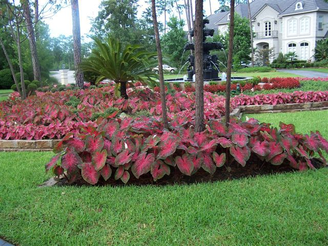 Caladium alternatives for a sunny yard yards gardens for Sunny landscape designs
