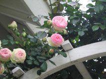 Edam Roses . . . beautiful!