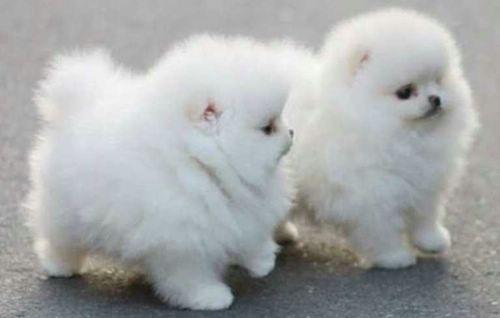 Fluffy dog google 39 da ara dog love pinterest get up for Fluffy little dog breeds