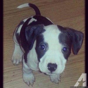 blue pitbull puppies for sale jacksonville florida | Cute