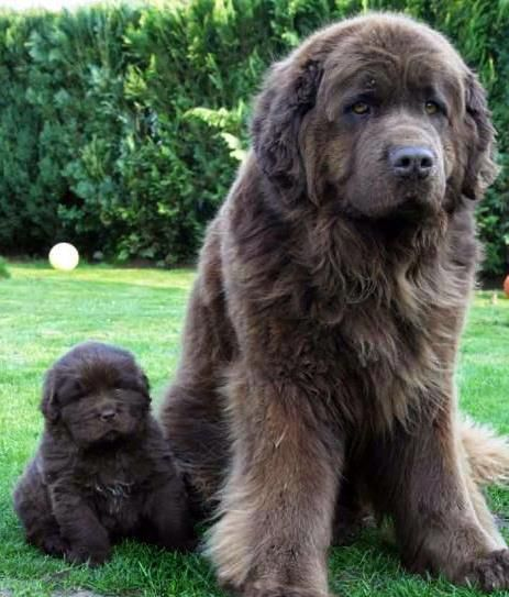 Newfoundlands A Large And Beautiful Gentle Giant Cute Animals Large Dog Breeds Big Dogs