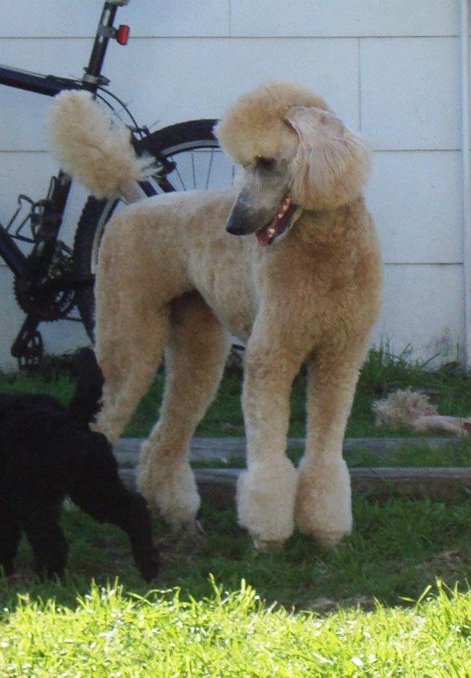 Cream Standard With Tassels Poodle Dog I Love Dogs Pamper Pets