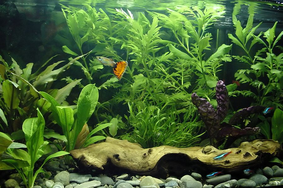 8 best freshwater aquarium plants for beginners clubfauna