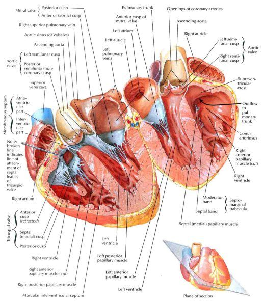 Atria Ventricles And Interventricular Septum Anatomy Pinterest