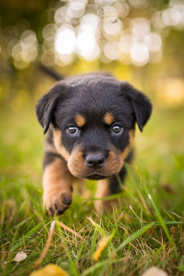 Rottweiler Puppies Are The Best In 2020 Baby Rottweiler