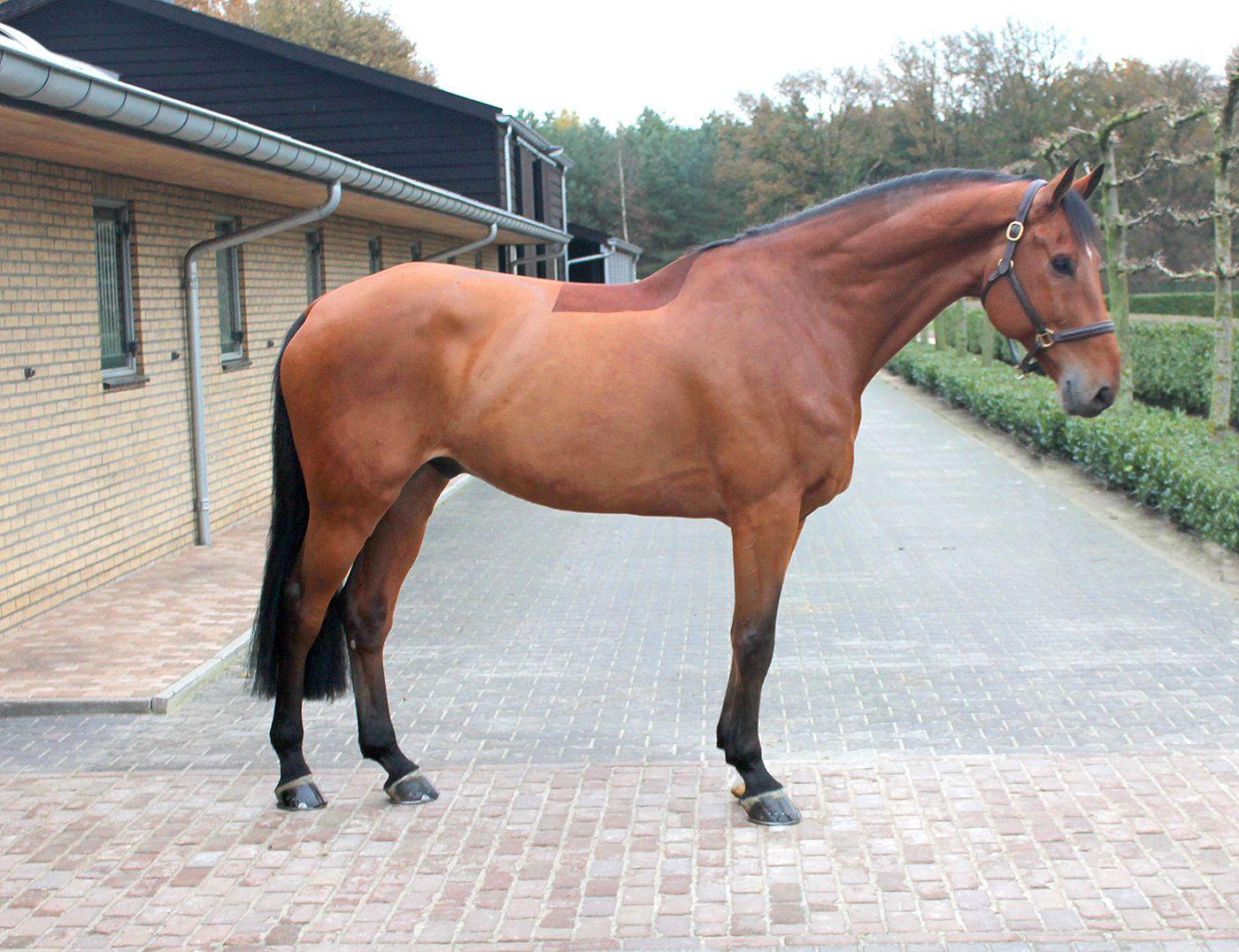 Jumper, hunter and Equitation horses for sale European