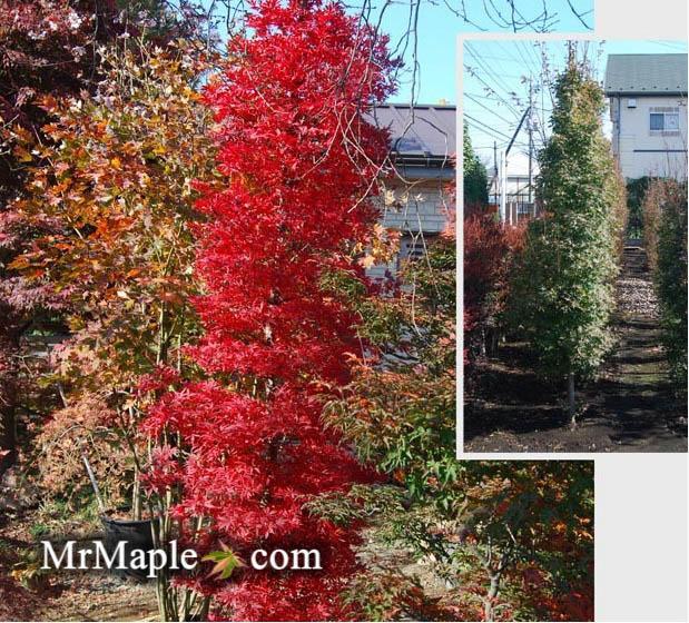 Acer Palmatum Tsukasa Silhouette Columnar Japanese Maple
