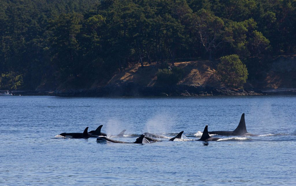 killer whale traveling - Google Search