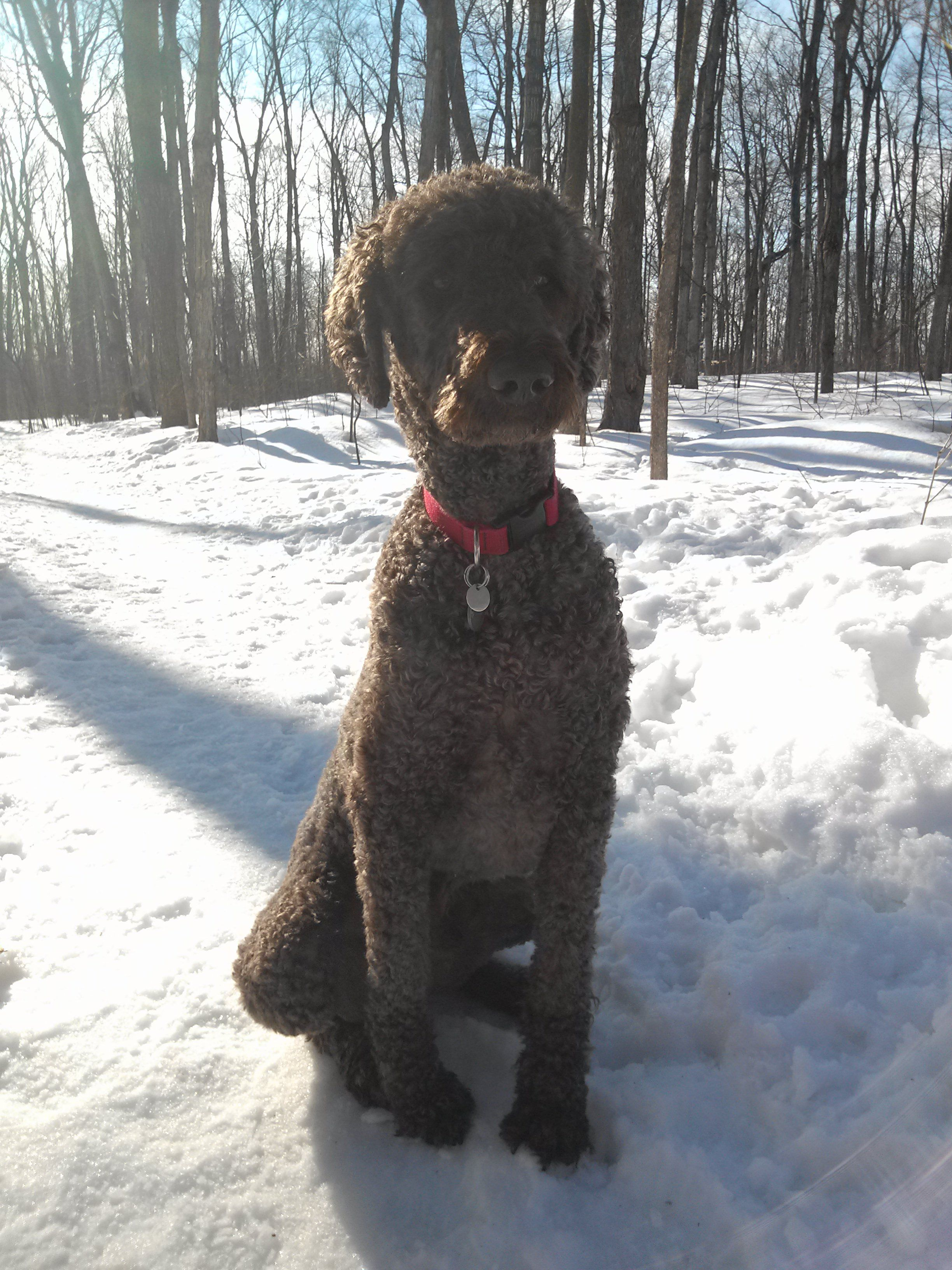 Pin on Poodles love them!!
