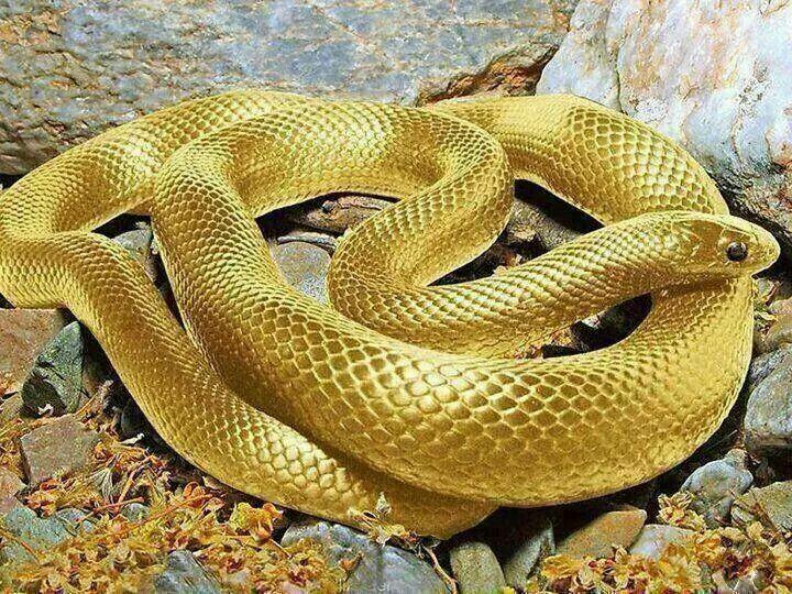 ง ส งทอง Beautiful Snakes Golden Snake Snake Photos