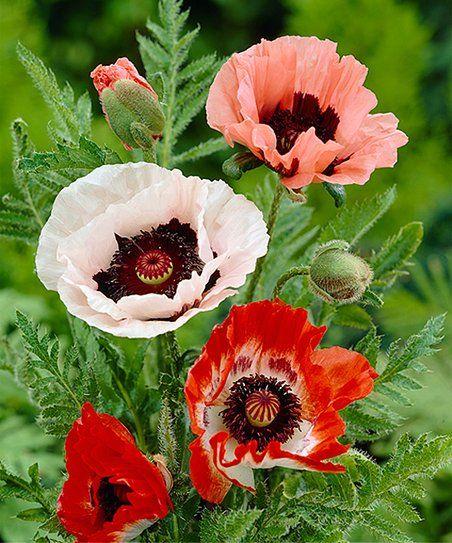 Van Zyverden Mixed Poppy Bare-Root - Set of Five | Zulily ...